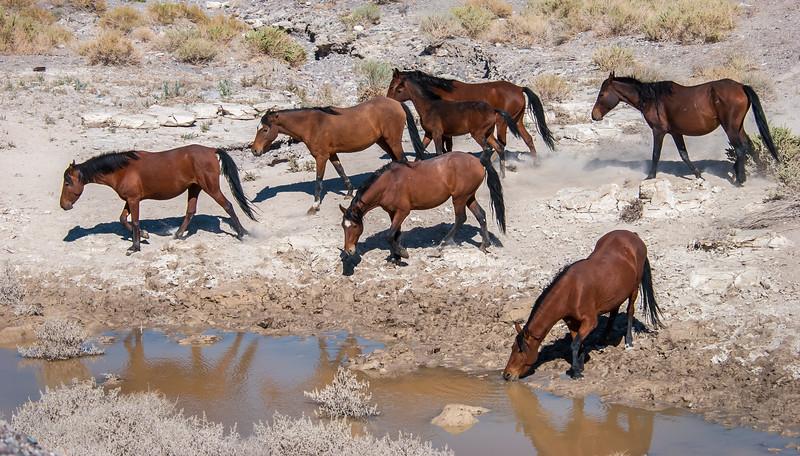 Wild Horses Drinking Near Rt 6 #2