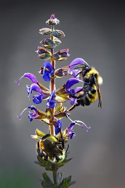 127.Marc Auth.1.Bumblebees.jpg