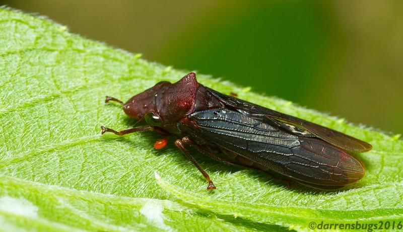 Sharpshooter leafhopper (Cicadellidae: Cicadellinae: likely Proconiini) from Monteverde, Costa Rica.