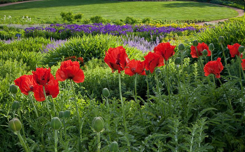 Red Poppies 2
