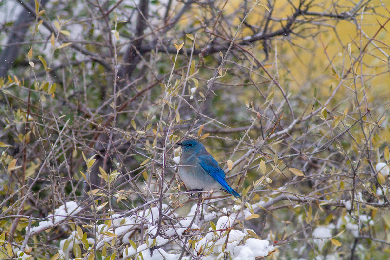 Mountain Bluebird flock in snow Theodore Roosevelt National Park Medora ND -1790.jpg