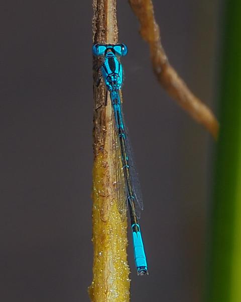 Azure Bluet, male