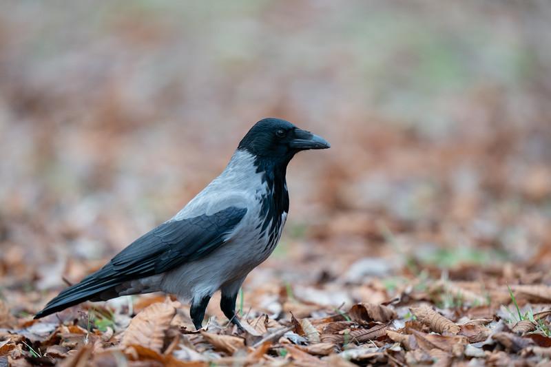 wrona siwa   hooded crow   corvus cornix