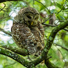 Barred Owl - Corkscrew Swamp Sanctuary - July 2013