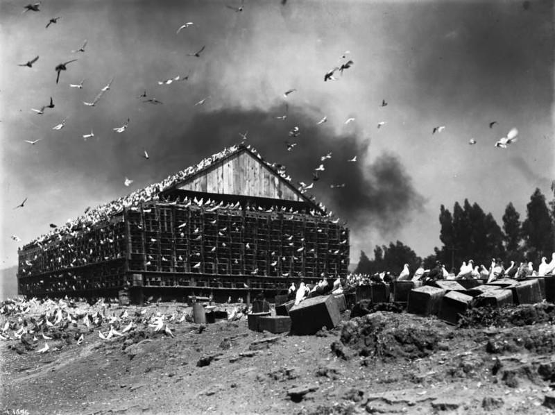 pigeons ca 1900 hitchcock.jpg