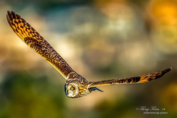 Short Eared Owl 2-21-18