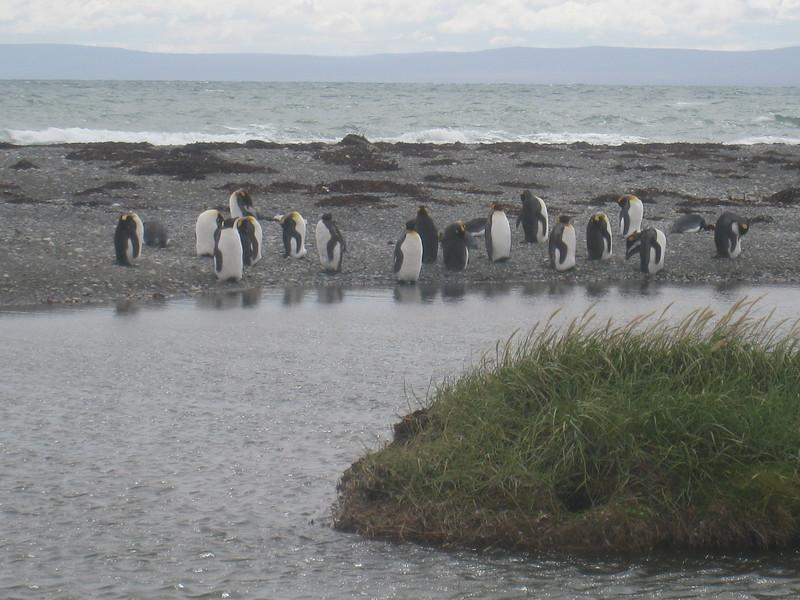 Seno Otway penguins-2