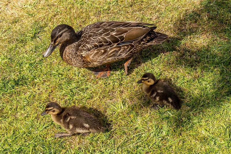 1. Besucher auf dem Camping - Entenfamilie