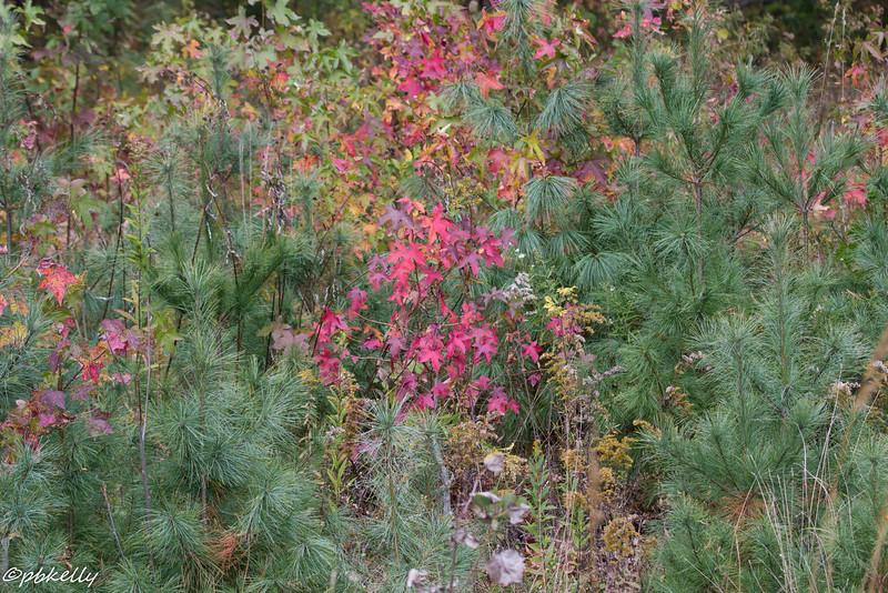 fall mini-trees 101615-1.jpg