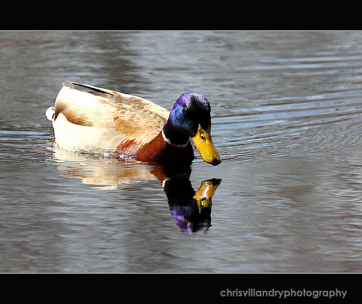 purple mallard copy copy.jpg