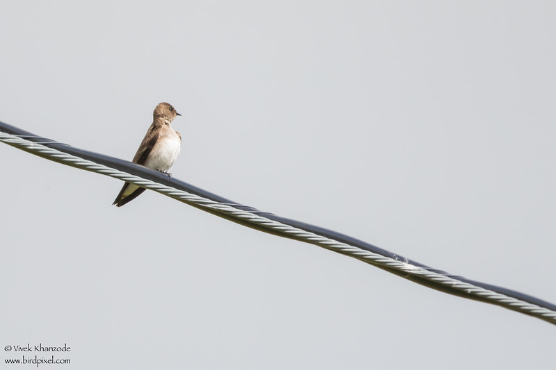 Northern Rough-winged Swallow - San Benito County, CA, USA