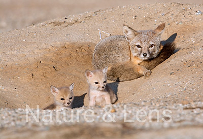 Foxes,  Kit Foxes
