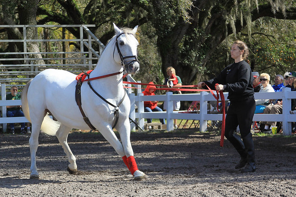 Lippizanner Stallions
