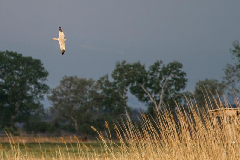 Wiesenweihe - Montagu Harrier