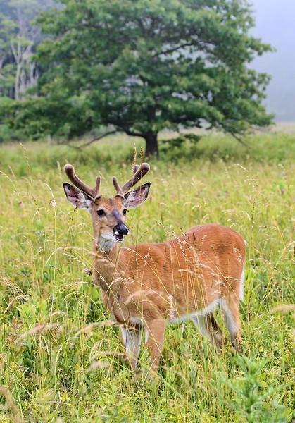 shenandoah-deer-2_18860190884_o.jpg