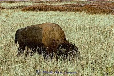 Bison in YNP