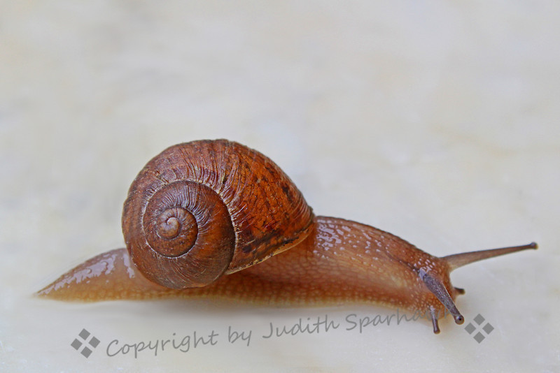 Snail on Marble ~ Walking in the rain in the garden at the Getty Villa, I saw this snail on the marble edging.  It almost looked as if it were floating on the rainsoaked marble, and seemed unperturbed by my being down on my knees shooting it at close range.