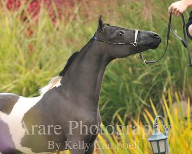 Black & White colt