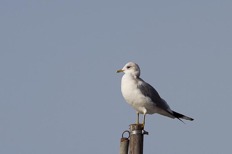 Mew-Gull-2011-01-1409.jpg