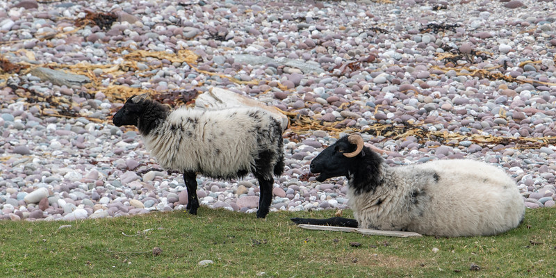 Sheep on rocky farmland, Achill Island, County Mayo, Ireland