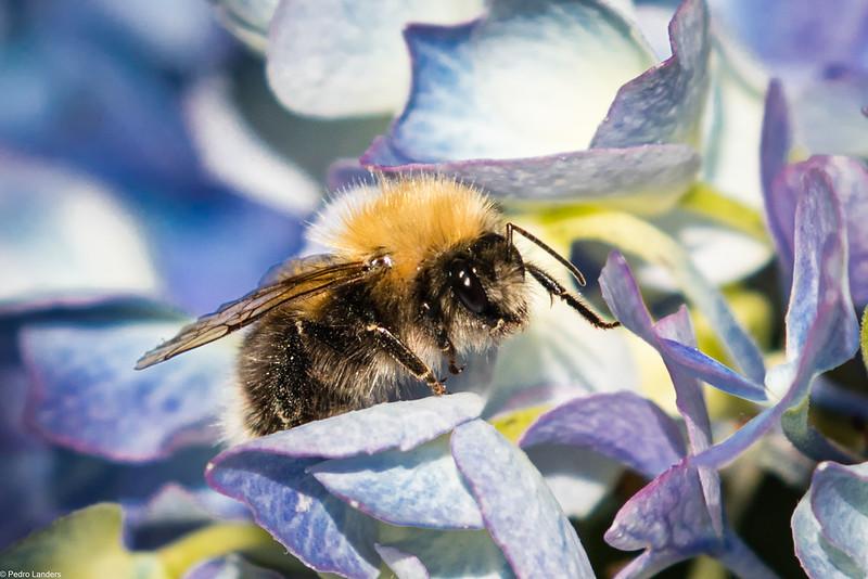 Bee on Hydrangea