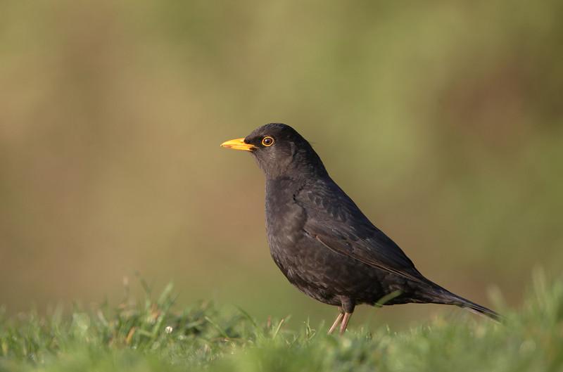 Blackbird - 5468.jpg