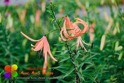 one open and one opening Tiger Lily blossoms at dawn
