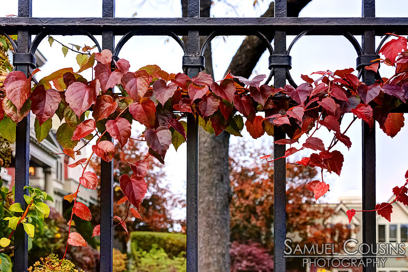 A vine growing on a wrought-iron fence.