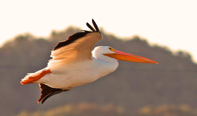 Las Gallinas Pelican early morning flying in