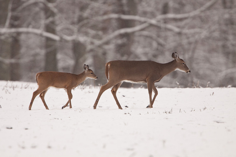 White-tailed doe and fawn in snow.