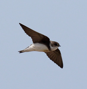 2015 Bank and Northern Rough-winged Swallows - Rosewood Beach