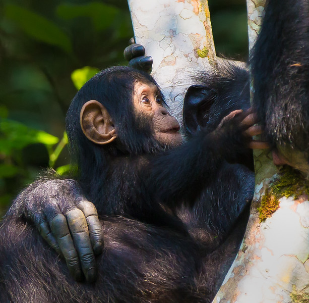 playful baby chimp.jpg