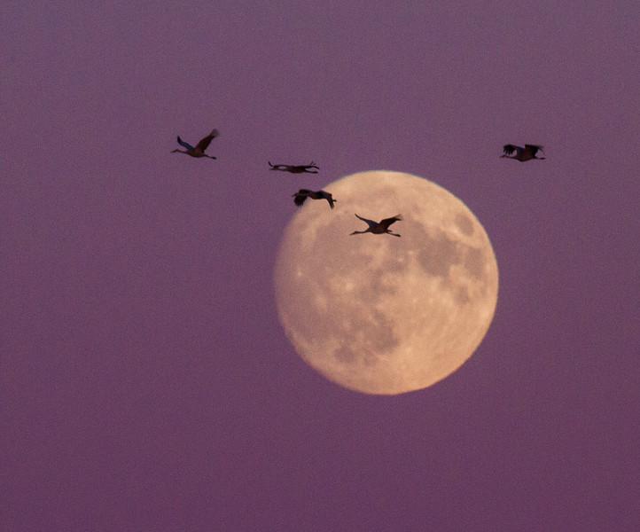 Sandhill Crane full moon fly in flight Crex Meadows Grantsburg WI IMG_1992.jpg