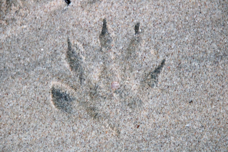 Raccoon Footsteps at the Beach