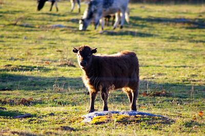 Cows of Lexington