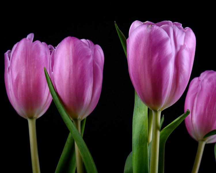 Tulips2020-017.jpg