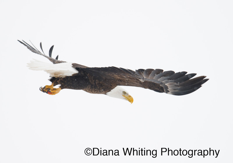 03_02_2019bald eagles_192 copy.jpg