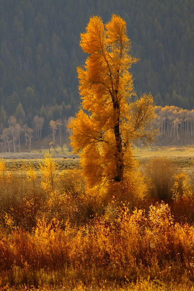 Cottonwood Gold