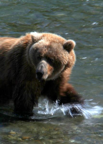 Katmai Bear6.jpg