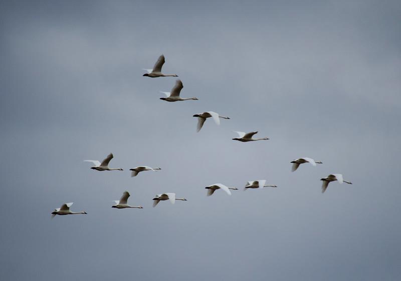 wildlife - chineese geese flying v 2(p).jpg