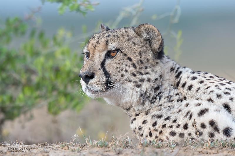 Cheetah, Phinda, KZN, SA, Oct 2016-7.jpg