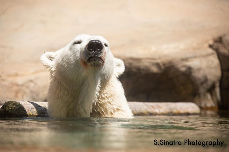 polar bear (25 of 50).jpg