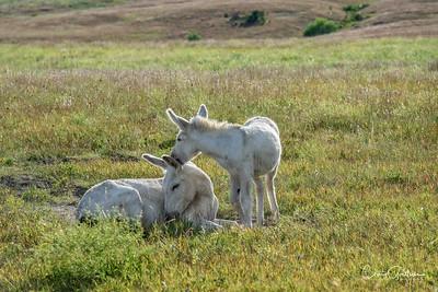 Wild Horses and Wild Burros