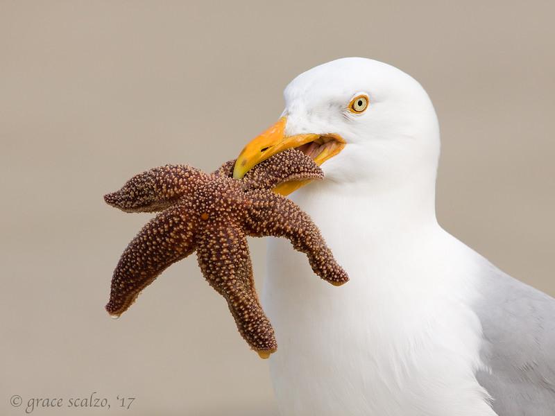 gull with star.jpg