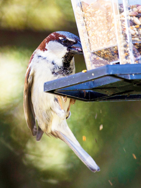 But the common sparrow is as handsome a bird as any.