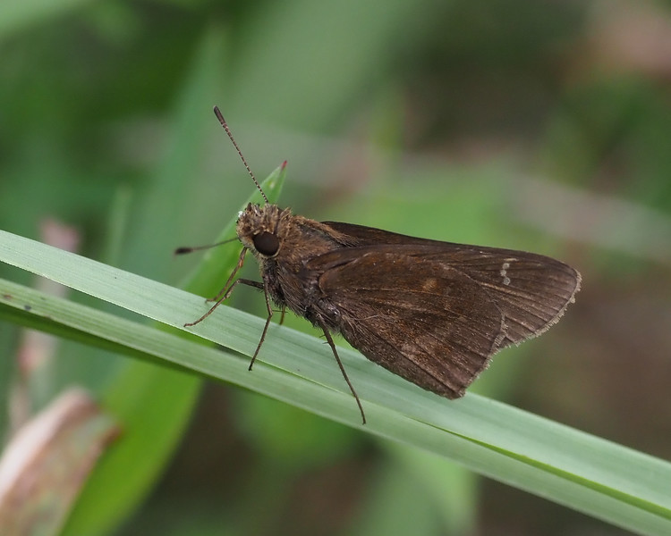 Clouded Skipper, female