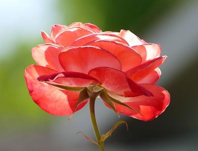 4/30/2016 - neighborhood flowers