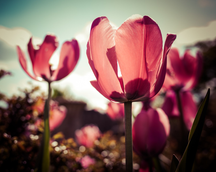 'Tulips to Kiss You'