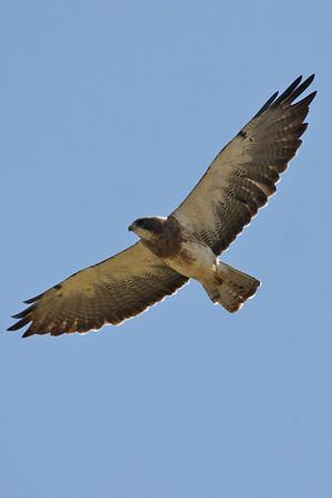 2009-08-15 Davis Area Swainson's Hawk Trip