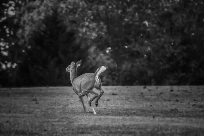 10.26.17 - Prairie Creek Recreation Area: Whitetail Deer
